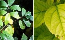 Как обнаружить и вылечить хлороз листьев у различных растений