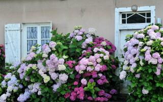 Цветочное облако в саду: гортензия на приусадебном участке