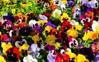 Анютины глазки: буйство красок в саду