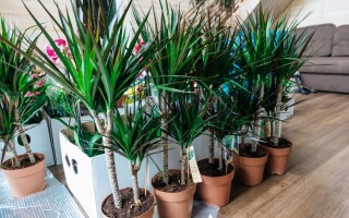 Драцена: выращивание, требования, уход. Как ухаживать за драценой в домашних условиях?