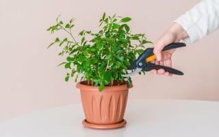 Как эффективно омолодить комнатные растения?