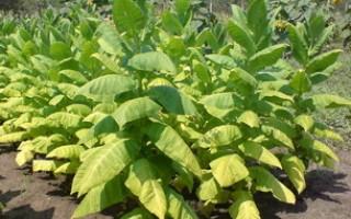 Виды табака, выращивание и применение