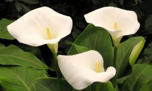 Каллы цветы хранение зимой в домашних условиях
