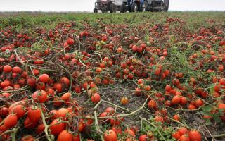 10 пунктов выращивания помидоров