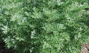Божье дерево — посадка и выращивание полыни