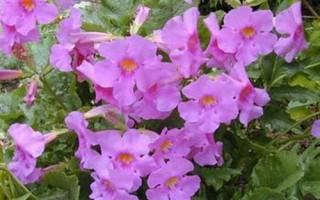 Инкарвиллея садовая глоксиния сорта и особенности выращивания