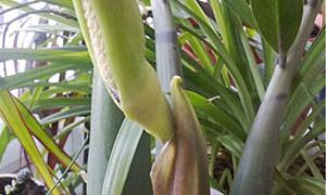 Замиокулькас — цветок безбрачия