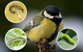 Как привлечь на участок синиц и избавиться от насекомых вредителей