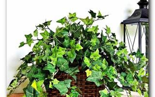 Плющ: выращивание, удобрение и уход