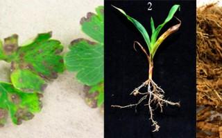 Нематода разновидности, внешние признаки поражения растений, меры борьбы и способы профилактики