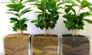 Секреты ухода в домашних условиях за Кофейным деревом: как цветет, чем подкормить, как пересадить и многое другое