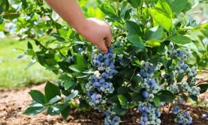 Технология выращивания голубики высокорослой с нуля