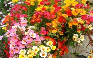 Выращивание немезии из семян в домашних условиях и в открытом грунте