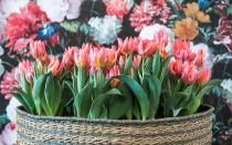 Способы хранения луковиц тюльпанов до посадки