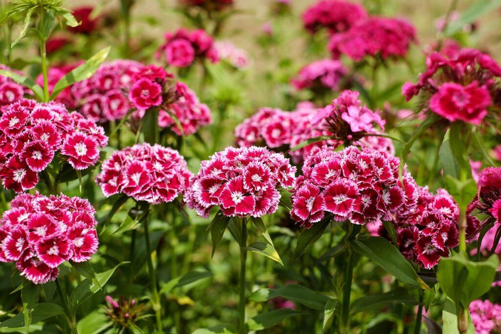 Многолетняя гвоздика - почвопокровное растение