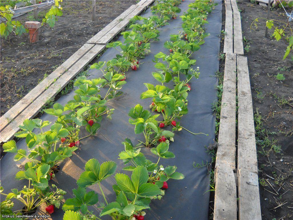 Правильная посадка садовой земляники