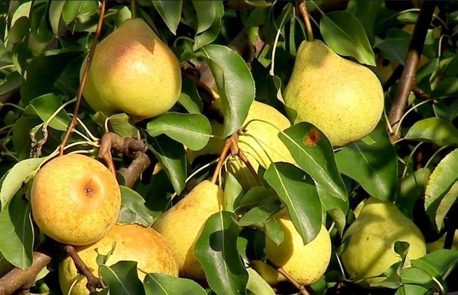 Самые популярные сорта груш и как правильно ухаживать за деревом