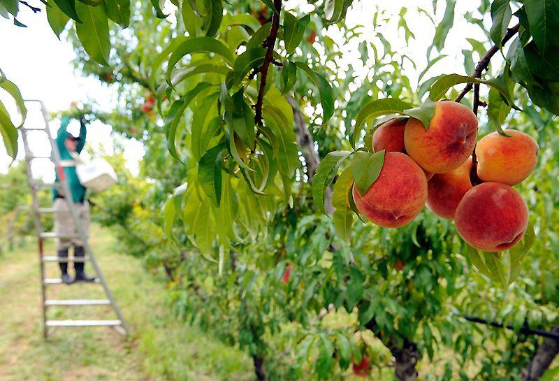 Все, что нужно знать, если решил посадить персиковое дерево в саду